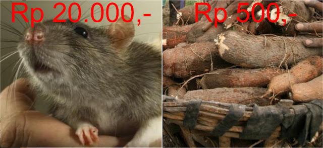 Di Jakarta Ada Tikus Rp 20 Ribu per Ekor, di Lampung Ada Singkong Cuma Rp 500 per Kilo