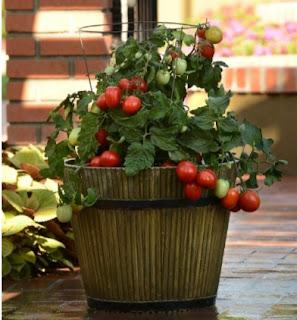 Tanaman sayuran dalam pot yang mudah tumbuh