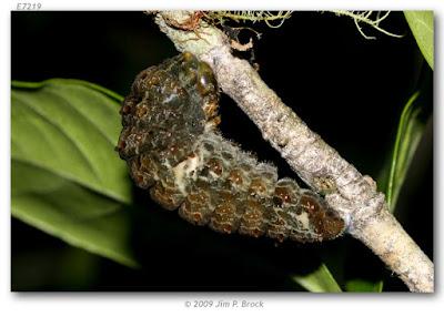 oruga de mariposa manchada rubi