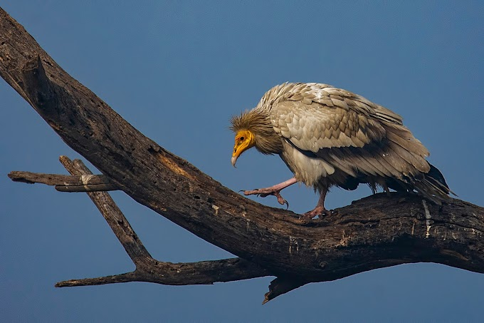 Egyptian Vulture Keoladeo National Park, Rajasthan