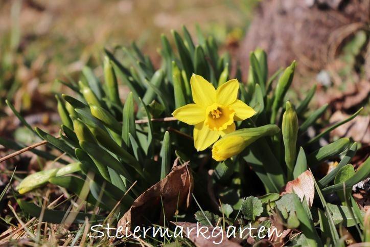 Narzisse-Steiermarkgarten