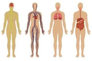Tubuh Manusia: Anatomi, Fakta dan Fungsi