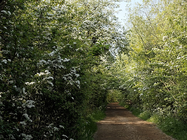 Path by wetlands with hedges covered in may