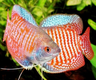 Ikan Gurame, Selera Tinggi Ikan Konsumsi