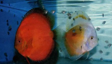 ikan diskus