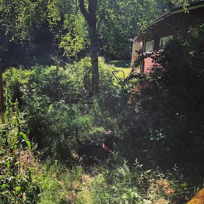 Mäyräkoira kotimaisessa viidakossa