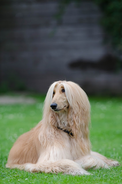 How to Care for a Afghan Hound - RictasBlog