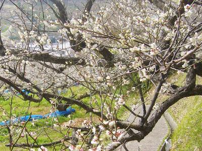【和歌山県】日本一の梅の里・南部(みなべ)梅林バスツアー