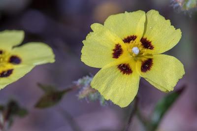 [Cistaceae] Xolantha guttata - macro.