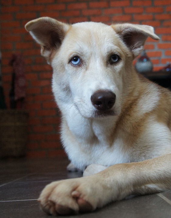 Karakteristik Anjing Dan Ciri Ras Kampung Bagus Dipelihara