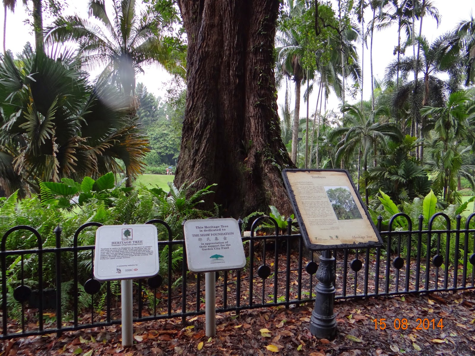 The 40m tall, more than 270 years old Singapore Botanic Gardens Heritage Tree - Tembusu (Fagraea Fragrans), a local native tree, fell on saturday, 11 February 2017 at about 4.30pm just before the planned Canada 150 concert and movie (have been cancelled after the accident).