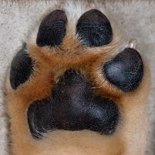 hiperqueratosis en cachorro