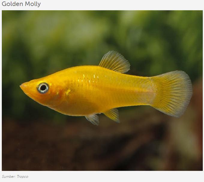 Golden Molly