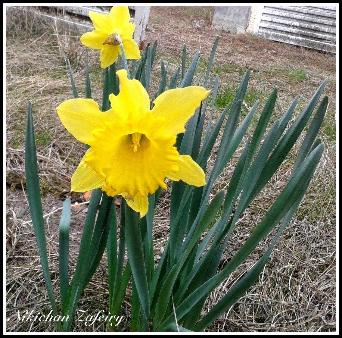 Narcisos Amarillos Huerto Familiar En Casa - Narcisos-amarillos