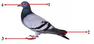 Ilustrasi bagian tubuh burung dara