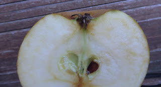 Portion of the cut side of an apple, showing the calyx and white flesh