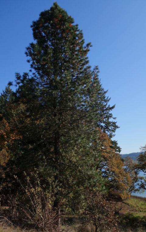 Northwest Conifer Connections: Willamette Valley Ponderosa ...
