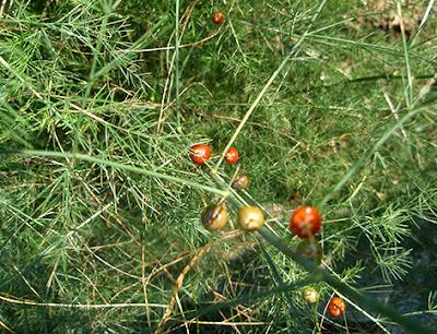 Esparraguera (Asparagus officinalis) border=