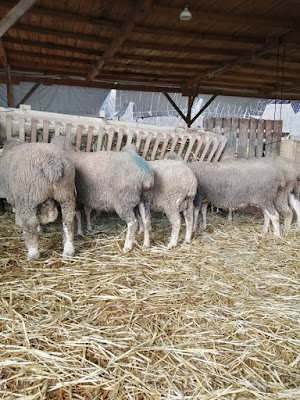 Koyunların koça gelmesi için ne yapılır
