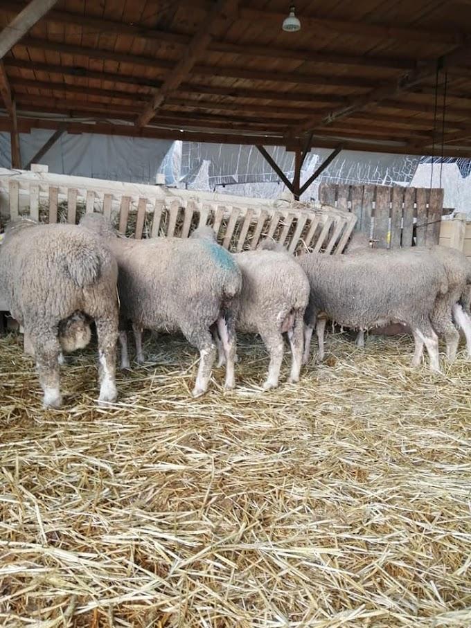 Koyunlarda Koç Değişimi