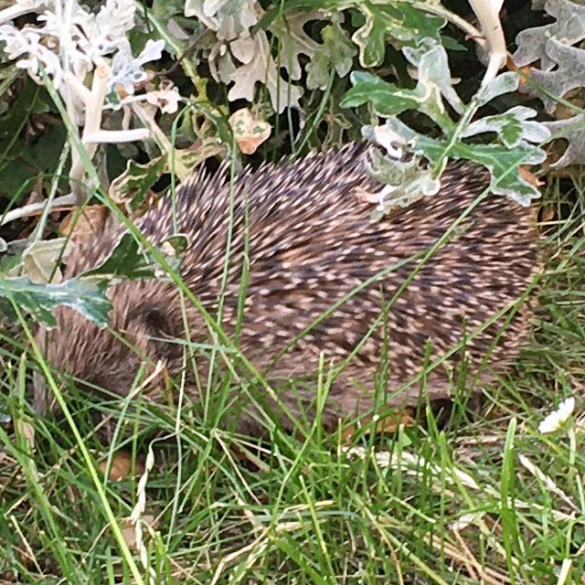 hedgehog hoglet uk garden