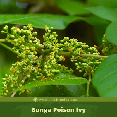 Ciri Ciri Bunga Poison Ivy