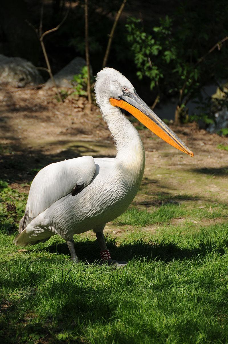 Μεγάλο πουλί μύες