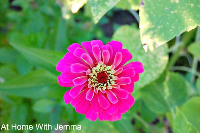 Zinnia Elegans, gardening, tips, gardens, flowers, athomewithjemma.com
