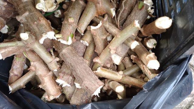 Horta municipal da Ilha recebe mudas de mandioca para produção de alimentos e incentivo à formação de hortas comunitárias