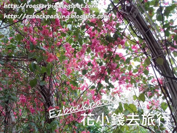 元州邨簕杜鵑花