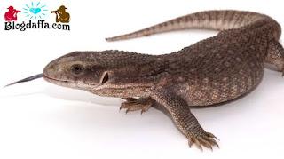 Savannah Monitor reptil unik untuk dipelihara