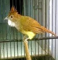 cucak jenggot www.burung45.blogspot.com