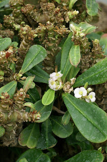 Euphorbe de Paulian - Euphorbia paulianii