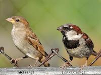 Bir çit üzerindeki dişi ve erkek serçe kuşları
