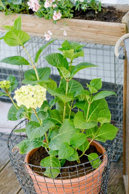 Gartenimpressionen, Sommerbepflanzung, Pomponetti, Endless Summer Hortensie