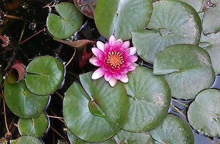 山東省の民家の庭池に咲く蓮の花