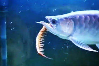 Makanan Ikan Arwana Biar Lebih Cepat Besar