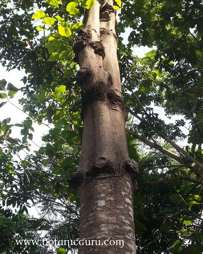 Sterculia campanulata trunk