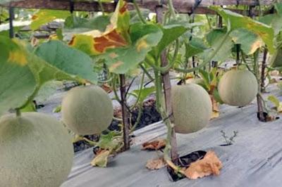 Pemberian Pupuk Dasar Buah Melon