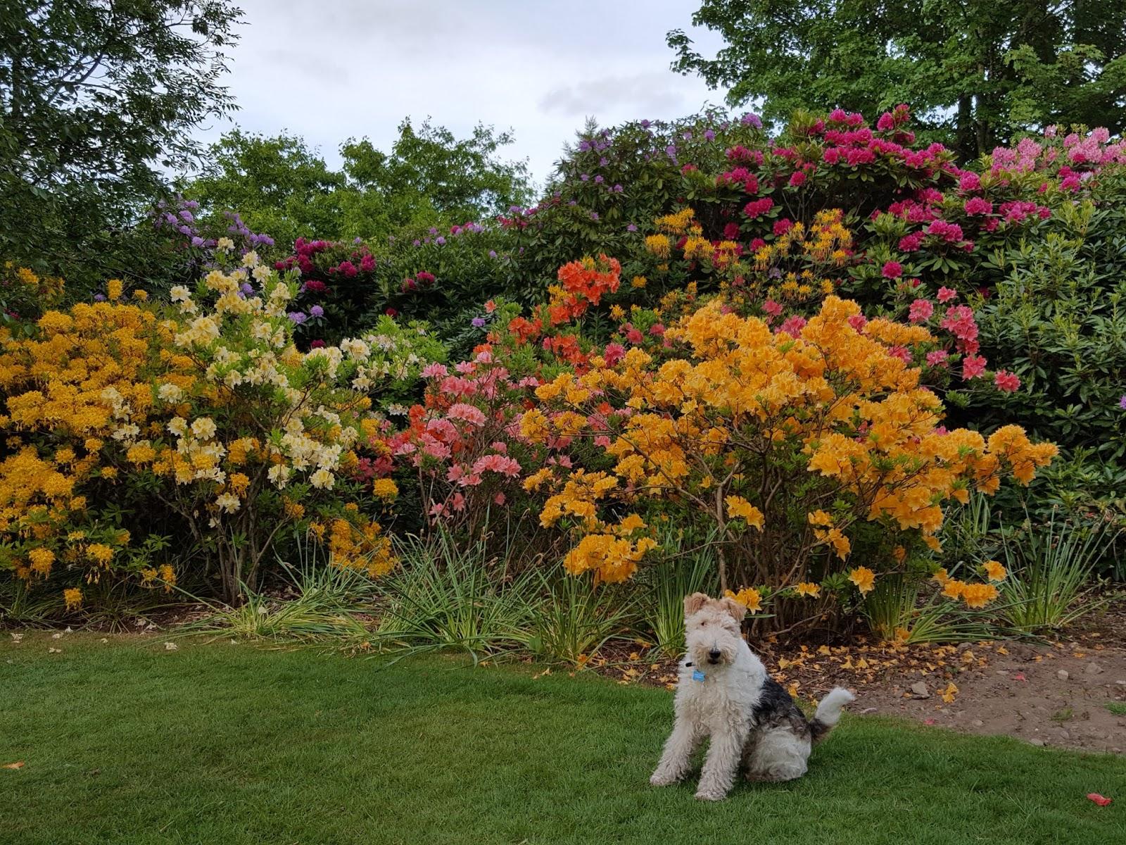 Bouncing Bertie\'s Blog: Flower Friday: Azaleas galore!