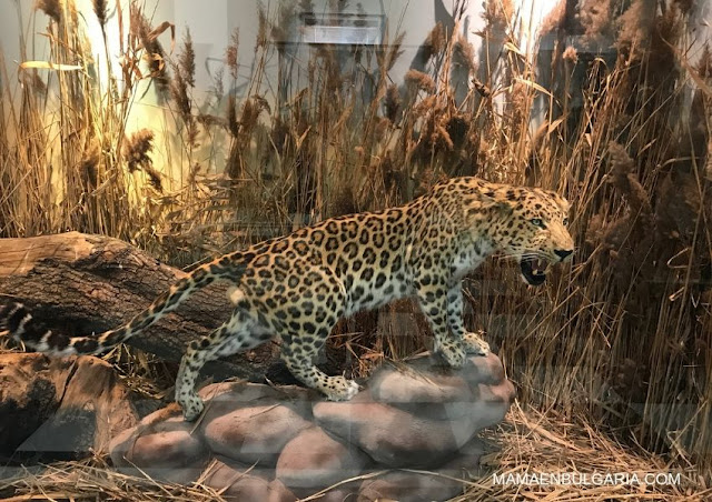 felinos Museo Ciencias Naturales Sofía Bulgaria