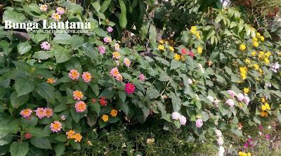 Lantana koleksi Rumah Bunga Neisha