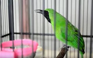 Demam pangung bukanlah penyakit seperti meningkatnya suhu tubuh burung cucak ijo