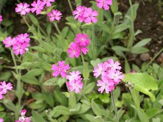 Lychnis fleur de Jupiter - Silène fleur de Jupiter - Lychnis flos-jovis - Silene flos-jovis