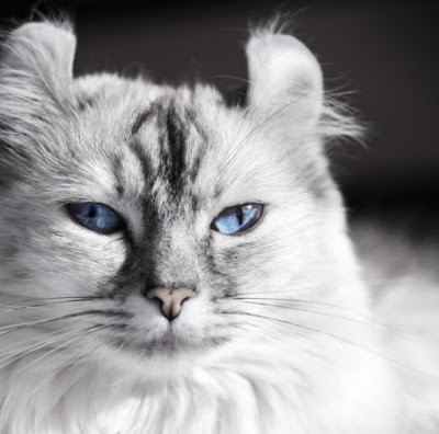 Sifat Kucing American Curl
