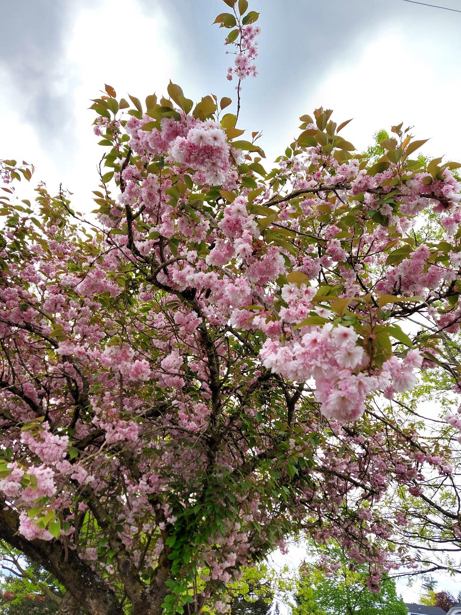 Cherry Tree Blossoms