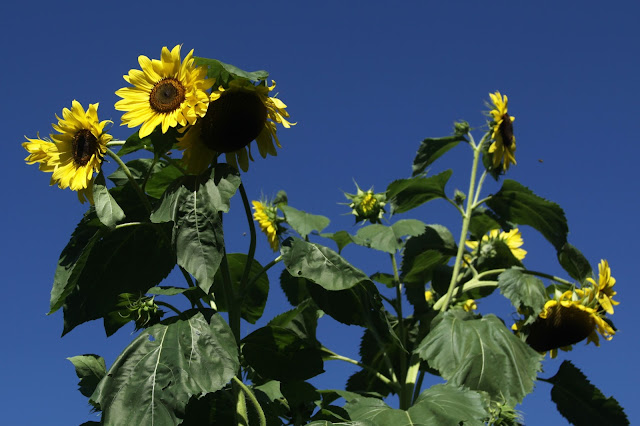 sunflowers, summer, summer flowers, blue sky, Anne Butera, My Giant Strawberry