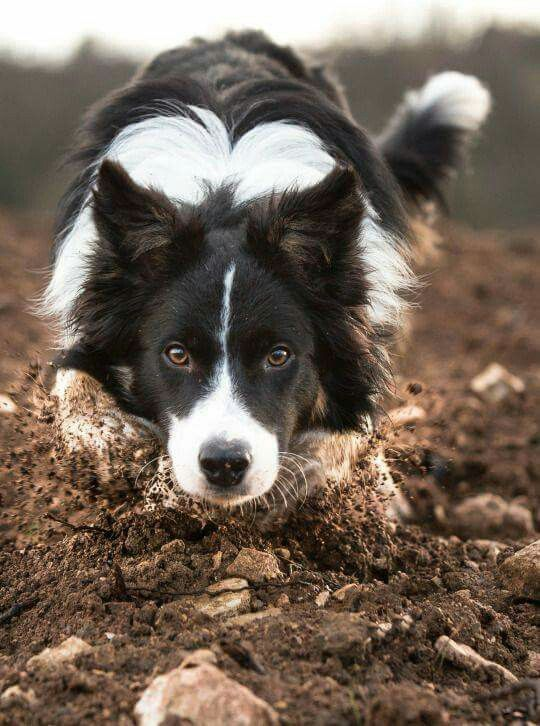 Border Collie The Smartest Dog Breed In The World   The ...