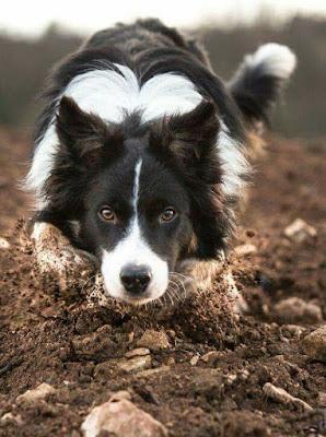 Smartest Dog Border Collies