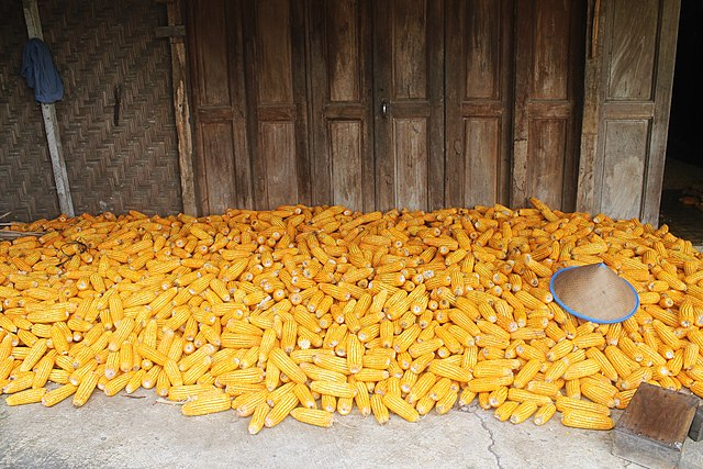 Seorang petani memanen jagung. Setelah dihitung, jagung yang dipanen jumlahnya 1.600 buah. Sebanyak 125 di antaranya kering dan busuk. Berapa buah jagung yang kualitasnya baik?